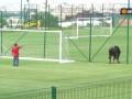 Вышедшая на поле корова прервала футбольный матч в Болгарии