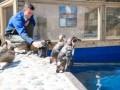 В честь триумфатора Уимблдона-2013 в Шотландии назвали пингвинов