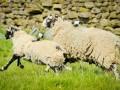 Знаменитую велогонку Тур де Франс помогут отснять овцы