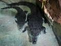 В ЮАР крокодил убил 29-летнего гольфиста