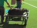 Защитник животных просят UEFA запретить ритуальную резню баранов