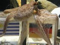 Сбылся очередной прогноз осьминога Пола