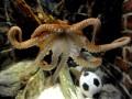 Исход матчей Евро-2012 с участием сборной Португалии предскажет двоюродный брат осьминога Пауля