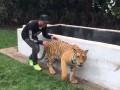 Смельчак: Льюис Хэмилтон подкрался сзади к тигрице