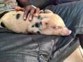 Супер свинья. Нападающий Милана Балотелли купил себе любимца