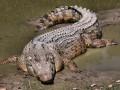В Австралии  крокодил укусил 70-летнего любителя гольфа