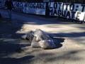 Ешьте дерьмо: Фанаты Лацио на тренировку команды привезли мешки с навозом