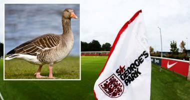 ФА Англии застрелила 60 гусей, которые гадили на базе сборной