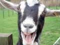 Владельцу бейсбольной команды прислали голову козы