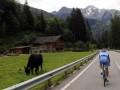 Велогонщик получил травмы от столкновения с двумя коровами